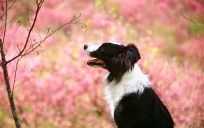 Collie Border Background Wallpapers Dog Dogs Desktop