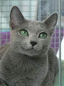 russian blue cat pictures russian blue cats