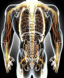 Human Nervous System Structure And Functions Explained
