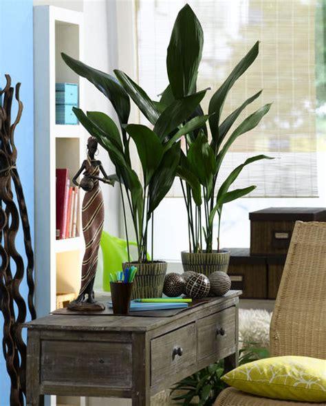 Schusterpalme Als Zimmerpflanze schusterpalme pflegen umtopfen und vermehren mein