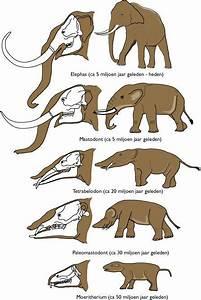 elephant evolution   elephant   Pinterest   Evolution