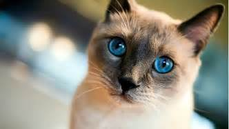 siamese cat names 10 best siamese cat names