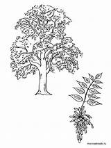 Tree Coloring Pages Ash Elm Template Printable sketch template