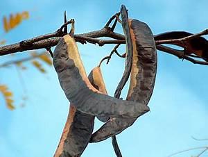 Baum Mit Langen Schoten : baumtagebuch 2006 oktober ~ Lizthompson.info Haus und Dekorationen