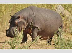 Choose a Hippo to Adopt SaveTheHipposinfo