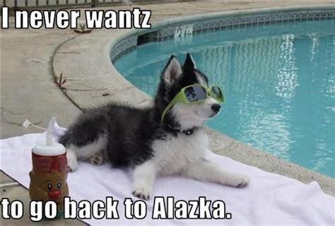 Funny Husky Memes - pinterest the world s catalog of ideas