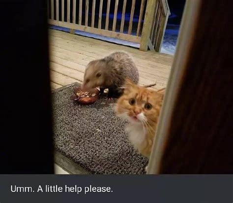cat   upset   opossum  eating  food