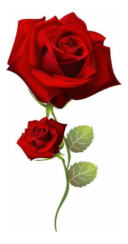 Rose Flowers Rosas Roses Para Rojas Pink