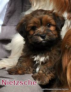 Pics For > Chocolate Sable Havanese