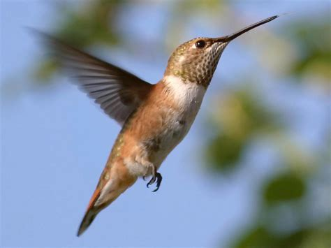 wallpapers hummingbird wallpapers
