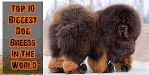 Worlds Largest Dog Breeds Top Ten