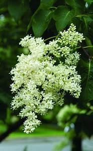 Syringa Reticulata  U2018ivory Silk U2019 Japanese Tree Lilac