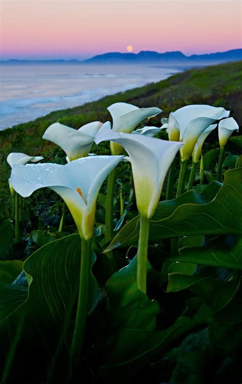 calla lilies south africa 242 best arum calla lilies images on pinterest calla lilies watercolor paintings and water colors