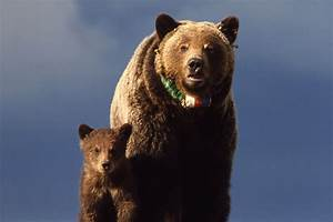 List of animals of Yellowstone - Wikipedia  Grizzly