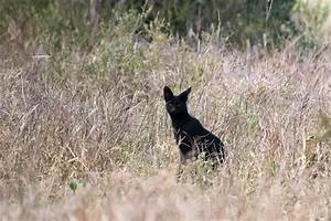 Exclusive: Rare Black Wildcat Caught on Film in Africa