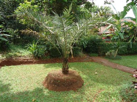 pohon kurma jual tanaman hias jual desain landscape