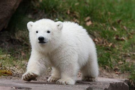 imagenes de osos polares osopolarpedia