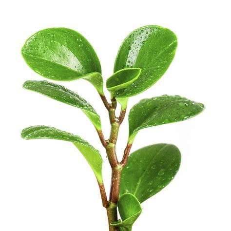 rubber plant rubber tree plant pet poison helpline