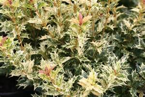Shrubs Flower All Year