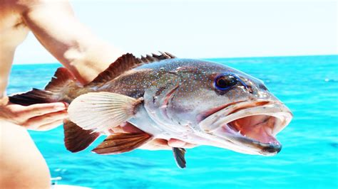 grouper ocean eating
