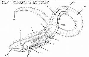 Earthworm Anatomy Labeling