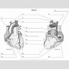 11 Best Images Of Blank Heart Diagram Worksheet With Word Bank  Label Heart Diagram Worksheet