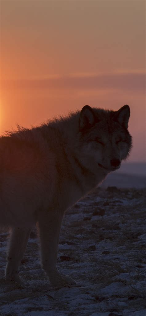 lonely wolf   sunset  iphone xs max
