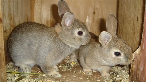Rabbits The Island Smallholder