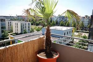 Trachycarpus Fortunei Auspflanzen : re welche palmenart trachycarpus fortunei pflegetipps 2 ~ Eleganceandgraceweddings.com Haus und Dekorationen