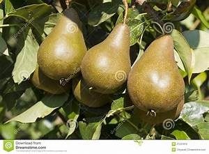 Bosc Pear Tree www imgkid com - The Image Kid Has It!