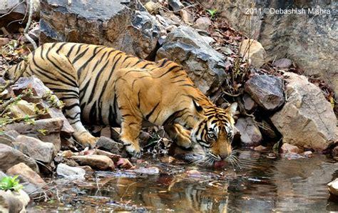 Images Tigers Tigresses Ranthambore Female