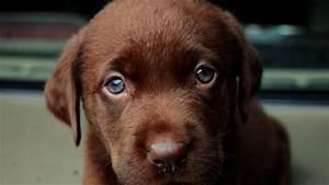 Download Brown Labrador Puppy 1366x768 Wallpaper Cute ...