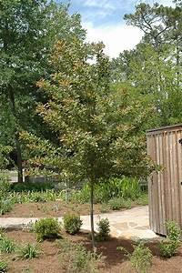 Wildfire Black Gum (Nyssa sylvatica 'Wildfire') in