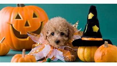 Halloween Wallpapers Pets Animal Puppies Backgrounds Wallpaperaccess