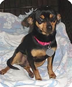 maddie adopted dog sierra vista az miniature