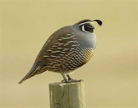 born to run california valley quail paul stein