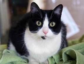 tuxedo cats tuxedo cat breed