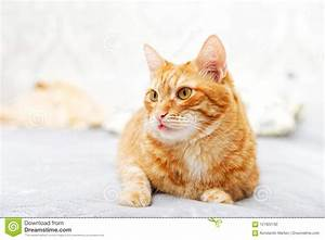 Red, Cat, Lying, On, The, Bed, Sticking, Out, The, Tip, Of, The, Tongue, Stock, Photo