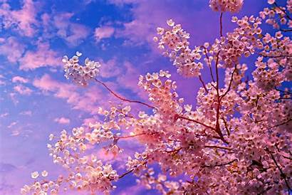 Blossom Cherry 4k Tree 5k Wallpapers Nature