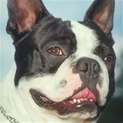 boston puppies  sale   happy image