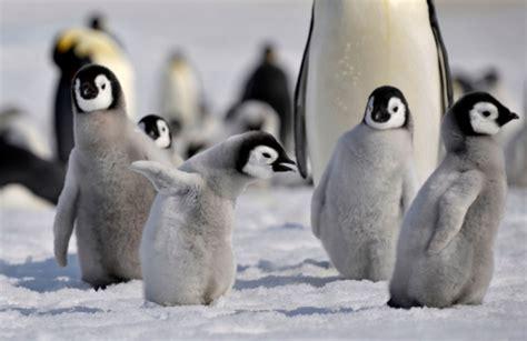 Baby Emperor Penguin