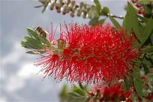 Pflanze Mit Roten Blüten : zylinderputzer pflege ~ Eleganceandgraceweddings.com Haus und Dekorationen