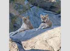 African Lion Fresno Chaffee Zoo