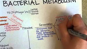Bacterial Metabolism  Part 1  Cellular Respiration Of Bacteria
