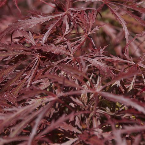 acer palmatum dissectum care acer palmatum dissectum crimson queen japanese maple big plant nursery