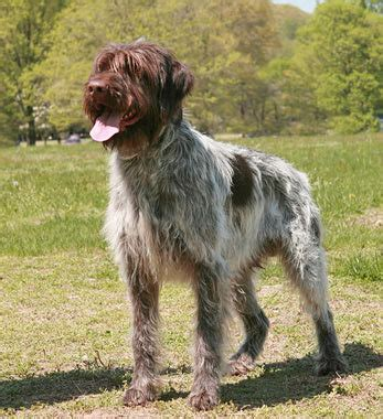 wirehaired pointing griffon non shedding wirehaired pointing griffon breed information