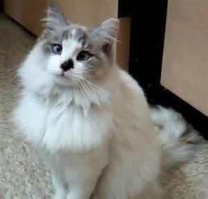 Snowshoe Siamese Cats Long Hair