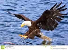 Bald Eagle Attacking Fish