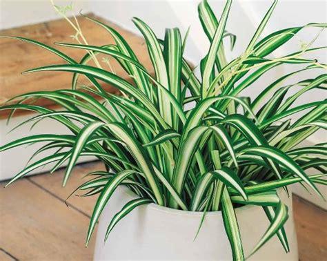 tanaman hias contoh contoh tanaman hias pembersih udara