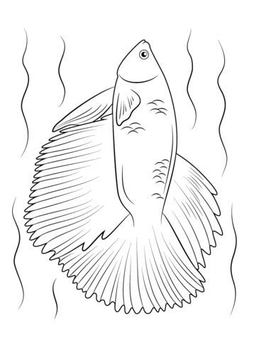 halfmoon betta fish coloring page  printable coloring pages  kids